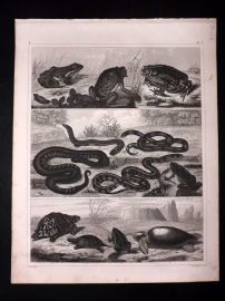Heck 1849 Antique Print. Frogs Toad, Snakes, Turtle, Tortoise 91